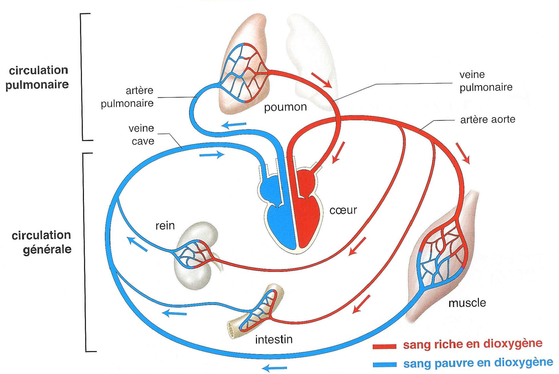 nutrition respiration ventilation and circulation The human respiration process home human ventilation from the ambient air into the enough oxygen can be delivered to the circulation even if a person is.
